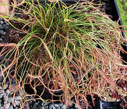 Live Tropical Carnivorous Plant Drosera Multifida Extrema Fork Leaf Sundew - Potted