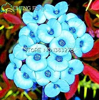 2016 Hot Sale 50pcs Multicolor Euphorbia Milii Seeds Rare New Rare Flowering Plants Four Season For Home Garden