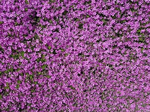 Portal Cool Kriechender Thymian Thymus serpyllum Lila Pink Bodenbewuchs Grundabdeckung 200 Samen