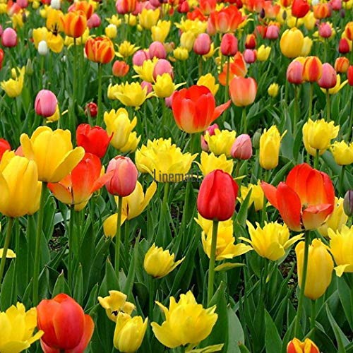 ASTONISH I semi della confezione: 100Pcs: Perenni 100Pcs rari tulipano Bulbi da fiore semi di Primavera Bloom Garden Decor Lm