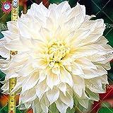25PCS rara gigante de la dalia de la flor blanca de la dalia Semillas Semillas Bonsai flor de la planta en maceta de flores Balcón magnífico para jardín 7
