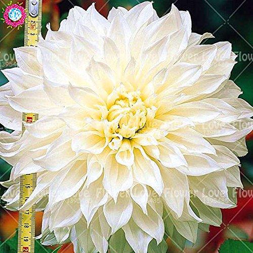 25PCS Seltene Riesen Dahlie-Blumen-weiße Dahlie Samen Bonsai Blumensamen Wunderschöne Blumen Balkon Topfpflanze Für Hausgarten 7