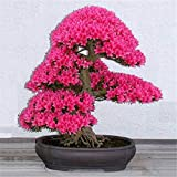 Árbol de los bonsais semillas de cerezo japonés, flor de cerezo bonsai para el hogar y el jardín 50g / pack