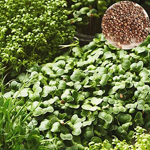 XQxiqi689sy 200 Stück/Beutel Wasserkresse Samen Nährstoffreiche Vitamin Grüntopf Landwirtschaft Pflanzen Gemüse Samen Samen