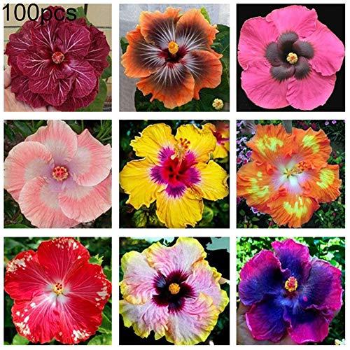 Maxtapos-100pcs colore misto ibisco seme di fiori pianta ornamentale in vaso fresco unico bonsai giardino balcone decorazione della casa