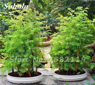 30 PC Coast Redwood Sequoia sempervirens Semillas Bonsai árbol en maceta Plantas en Casa y Jardín Aire fresco El jardín de DIY 3