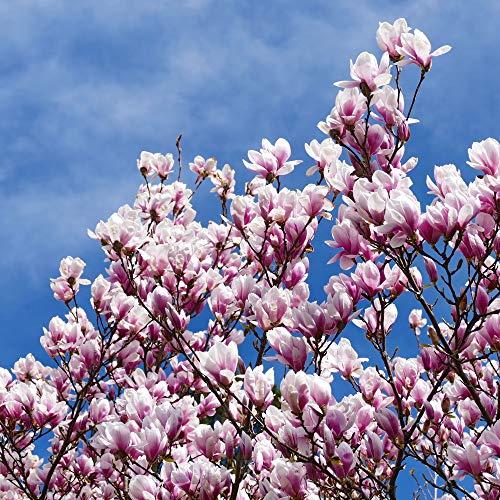 10Stück/Beutel Magnolia Samen Mini Magnolia Bonsai, Beautiful Flower Samen Innen- oder Ourdoor Topfpflanzen DIY für Home Garten Show In Picture mix