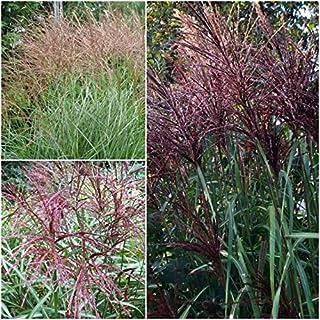 Miscanthus Sinensis S,eeds, Red Maiden Grass, Red Ornamental Grass S,eeds - 10 S,eeds