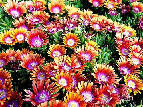 Keland Garten - Rarität Delosperma Mittagsblume 'Fire Spinner' Bodendecker für Schmetterlinge und Bienen, Blumensamen Mischung winterhart mehrjährig auf der Terrasse und dem Balkon