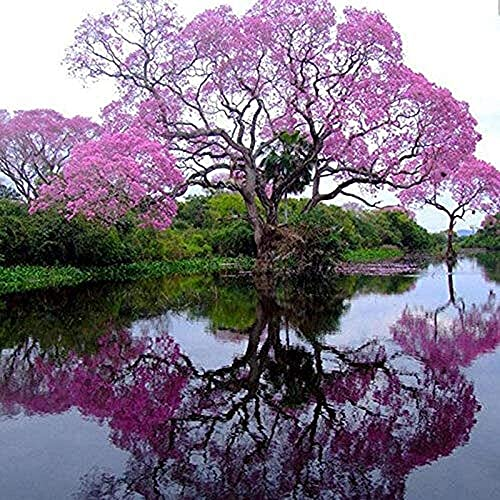 200 Piezas Mejor Paulownia Emperatriz Árbol Semillas Flor Romántica Gran Aroma Crecimiento Rápido Siembra Eficiente En Jardines Al Aire Libre
