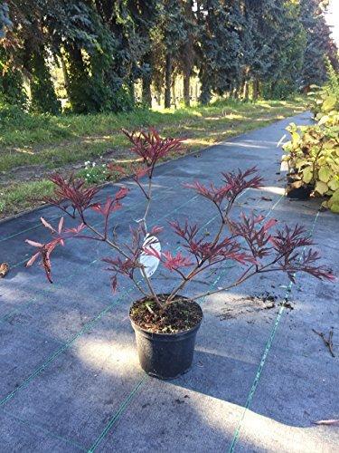Schwarzer Holunder Black Lace 40-60 cm Strauch für Sonne-Halbschatten Heckenpflanze weiß-rosa Laub Gartenpflanze winterhart 1 Pflanze im Topf