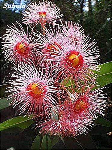 100 Pcs/Sac Rare Eucalyptus arc-en-floraison Graines, Graines Arbre tropical, Eucalyptus plantes pour jardin d'ornement Bonsai 8