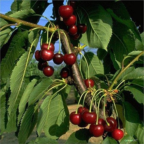 Kirschbaum Große Schwarze Knorpelkirsche Buschbaum 120-150 cm im 10 Liter Topf Unterlage GiSelA 5