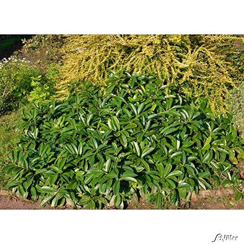 Bodendecker-Kirschlorbeer Mount Vernon - Pflanze 20-30 cm immergrün & winterhart als ´Bodendecker – Pilzfreie mehrjährige Lorbeerkirsche Prunus Laurocerasus von Garten Schlüter