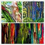 Ferry 100pcs/bag Rare Rainbow Eucalyptus deglupta Bonsai,Showy Tropical Tree Plants, Eucalyptus Plant for Garden Plant