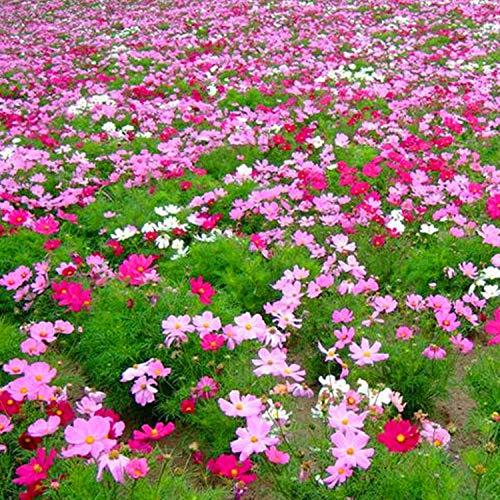 Fuduoduo Semillas EcolóGicas AromáTicas,Planta de San Valentín combinación de Flores Silvestres Semillas de Flores-0.5kg_Color Mixto,Perenne Resistente Semillas