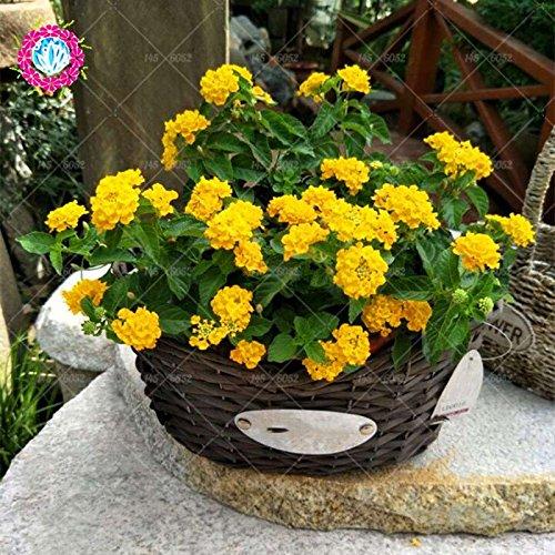 New Lantana Camara en pot Graines 50Pcs / sac Fleurs rares pour le jardin Plantation d'Fleurs Bonsai Semillas de Flores Livraison gratuite 5