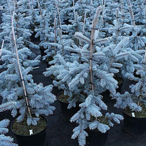 Abete Blu Argentato'Picea Pungens Kosteriana Hoopsii' in vaso ø18 cm h.40/60 cm
