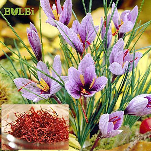 SAFRAN KROKUS - Crocus Sativus BULBi Pack: 100 Zwiebeln XL (Größe 8/9cm), Top Qualität, Wachsen und Ernten Sie Ihren eigenen Safran zu Hause - Sommerpflanzung – Herbstblühend