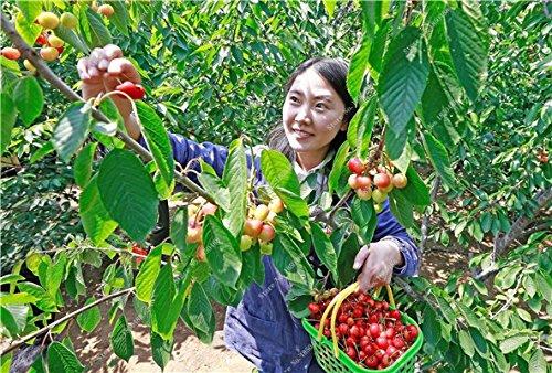 Multi Color Cerise Fruit Graines De Fleurs vivaces Jardin Plantes en pot Heirloom fruit délicieux croissance naturelle 10 particules 13
