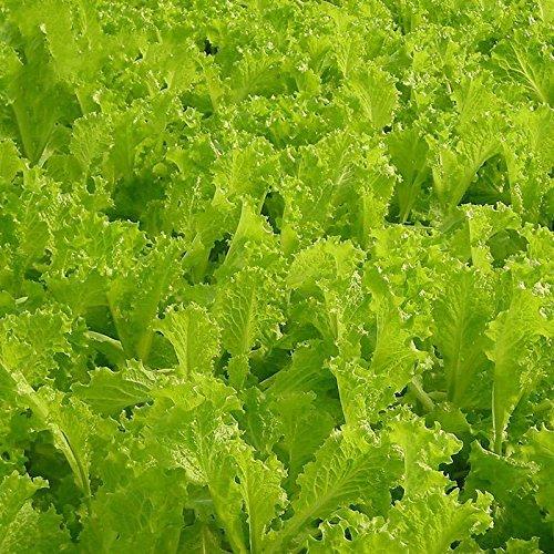 20 graines / paquet balcon de graines de laitue Cream jardin Crisp perdre graines de laitue de poids