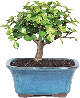 Best jade plant bonsai Reviews