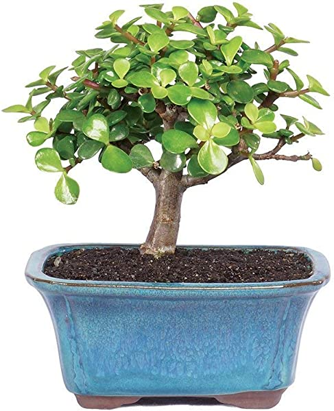 Brussel S Bonsai Live Dwarf Jade Indoor Bonsai Tree 3 Years Old 4 To 6 Tall With With Decorative Container Small