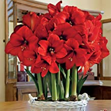 Giant Amaryllis Bulb Red Star Amaryllis Barbados Lily DIY Home Garden Lily Potted Balcony Flower Amaryllis Bulbs for Sale Amaryllis Plant Hippeastrum Bulbs