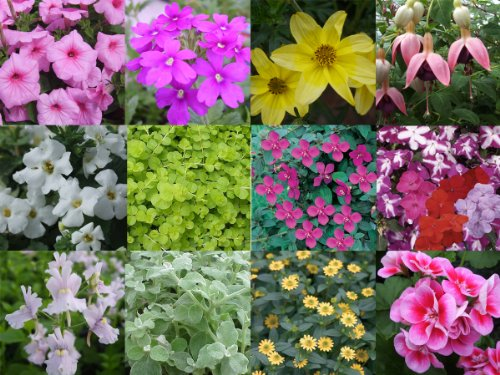 10 x Hanging Basket and Patio Mixed Summer Collection Plug Plants from Plugplants4u