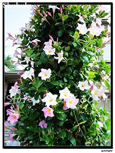 50 Pcs / sac Rare Dipladenia Sanderi Graines vivaces Escalade Bonsai Mandevilla Sanderi fleurs ornementales d'extérieur Jardin Plante 11