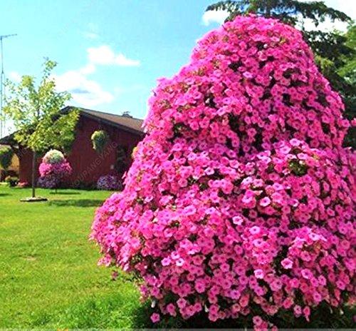 Vente chaude Pétunia arbre Graines Balcon Graines Petunia Trailing pot pour plantes de jardin semences de fleurs 100 particules/emballage