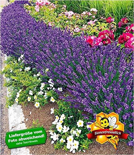 BALDUR-Garten Winterhart Lavendel