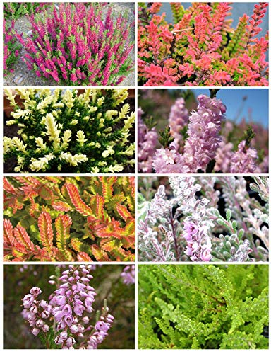 8 Plant Pack Heather Variety Upright Summer/Autumn Flowering Garden Shrub
