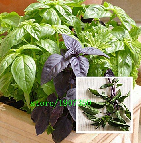 Paquet d'origine 100 graines / Pack, Ocimum basilicum, basilic pourpre, Balcon légumes bonsaï, graines de plantes de jardin