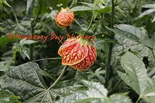 Abutilon 'Tiger Eye' - Tiger Eye Flowering Maple - 1 Plants - 1 feet Tall - Ship