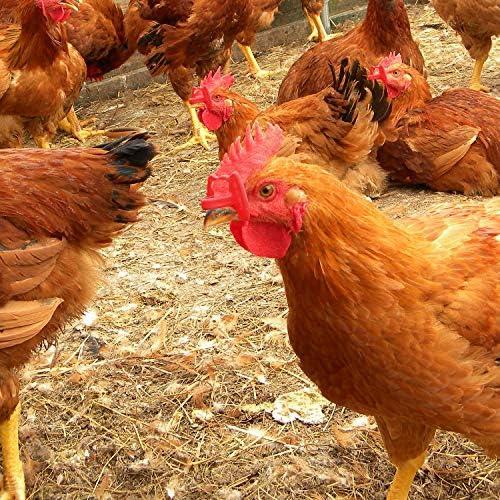 Chicken glasses _image2