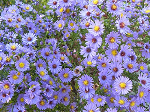 Smooth Blue Aster (Symphyotrichum laeve) Seed Balls - Bulk Seed Bombs for Guerrilla Gardening (20)