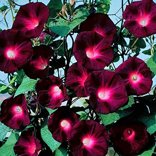 New 201850pcs/bag Hanging Petunia Mixed Seedling,Rare Petunia Plants,Bonsai Flower Morning Glory Plantas,Plant for Home Garden : QC342MxT11