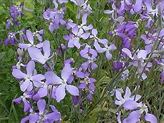 Matthiola bicornis Flower Seeds from Ukraine