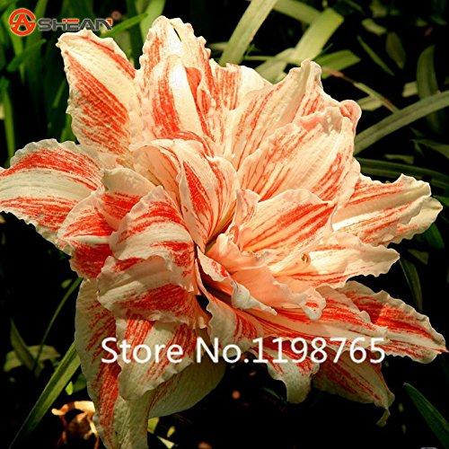 Plantes en pot 2016 Nouvelle Collection Blanc Double orange Hippeastrum Graines de bricolage Indoor Bonsai Outdoor Seed plantes à fleurs 100 particul