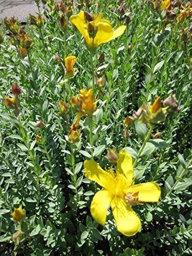 Polster Johanniskraut - Hypericum polyphyllum Grandiflorum
