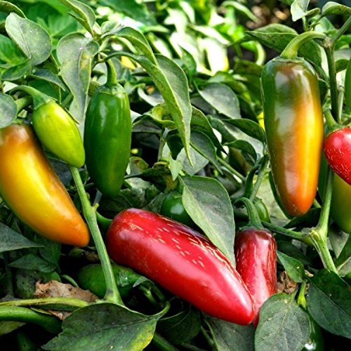 Asklepios-seeds® - 15 Semillas de chili early jalapeno Chile jalapeño, chile cuaresmeño
