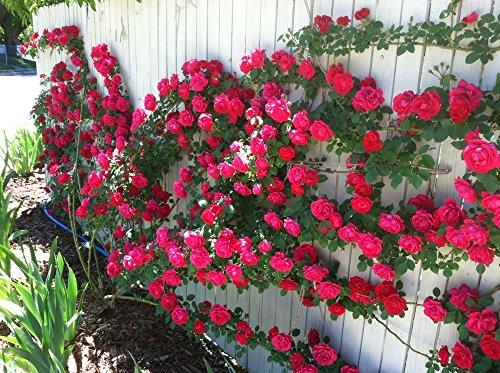 100 graines / Pack Rose fleur graines d'arbres rosier grimpant fleurs graine d'ornement usine