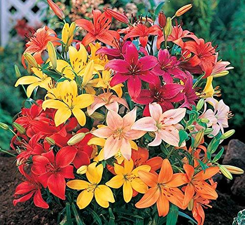 BULBOS DE FLORES para una floración de primavera/verano/otoño (5, Lirios Asiáticos en mezcla)