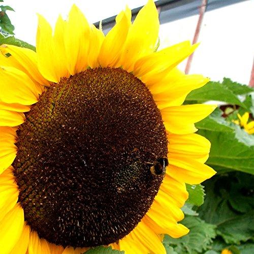 Mammoth Russian Sunflower - 30 Seeds, 7g