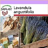SAFLAX - Lavande vraie - 150 graines - Lavandula angustifolia