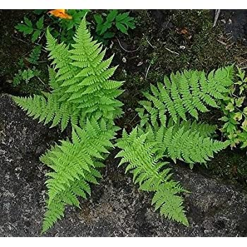 3  *Christmas Fern*  Premium Native Woodland Perrennial Bare Root
