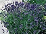 Pack x6 English Lavender Angustifolia 'Munstead' Perennial Garden Plug Plants