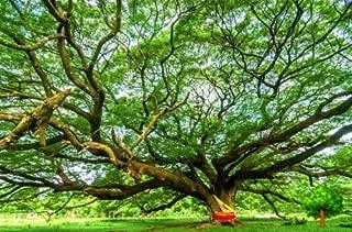 TARA-GARDEN 200 SEED MONKEY POD TREE RAIN TREE SAMANEA SAMAN STUNNING EXOTIC TREE VIABLE