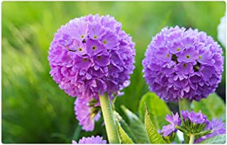 Tree26 Indoor Floor Rug/Mat (23.6 x 15.7 Inch) - Flower Purple Primrose Flower Pr mula Denticulata